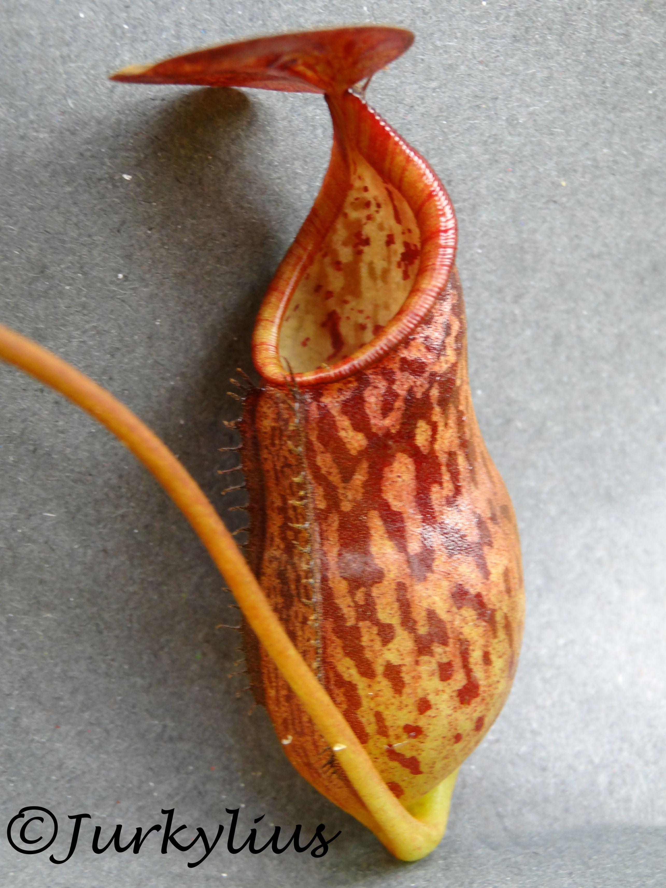 ceciliae.jpg